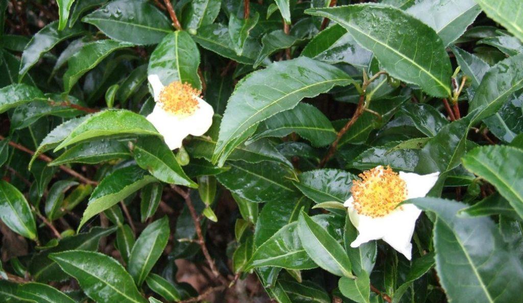 Το τσάι δεν έχει πλέον μυστικά: Επιστήμονες «διάβασαν» το DNA του   Pagenews.gr