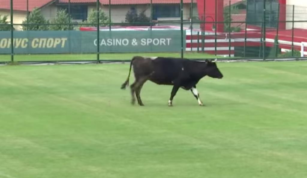 ΜΥΘΙΚΟ: Αγελάδα «εισέβαλε» σε γήπεδο και διέκοψε φιλικό αγώνα! (vid) | Pagenews.gr