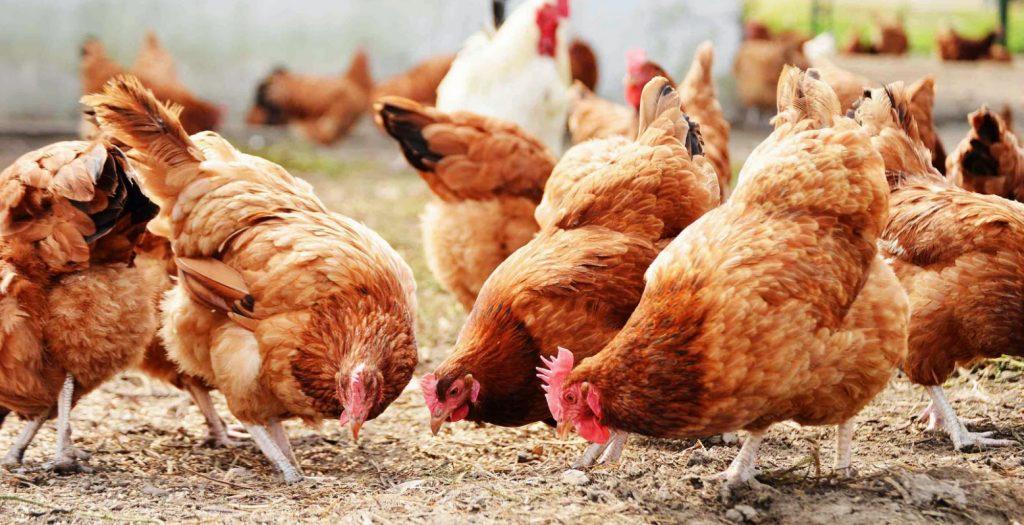 Ουκρανία: Κρούσμα γρίπης των πτηνών σε πουλερικά | Pagenews.gr