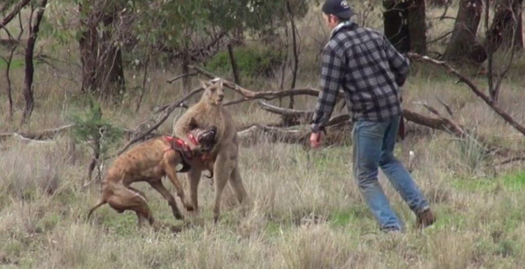 Έδωσε μπουνιά σε… καγκουρό που επιτέθηκε στον σκύλο του! (video) | Pagenews.gr