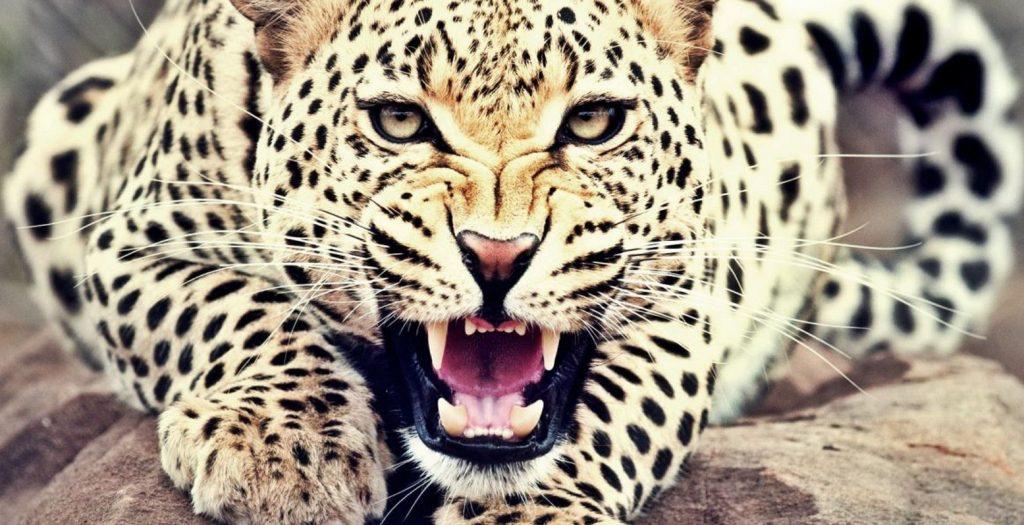 Ινδία: Λεοπάρδαλη κάνει «ντου» σε κατοικημένη περιοχή (vid) | Pagenews.gr