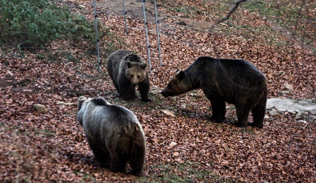 Αρκτούρος: Οι αρκούδες πέφτουν σε χειμερία νάρκη   Pagenews.gr