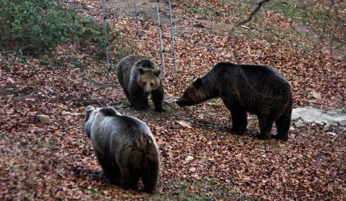 Εγνατία Οδός: Νεκρή αρκούδα μετά από σύγκρουση με φορτηγό (pics) | Pagenews.gr