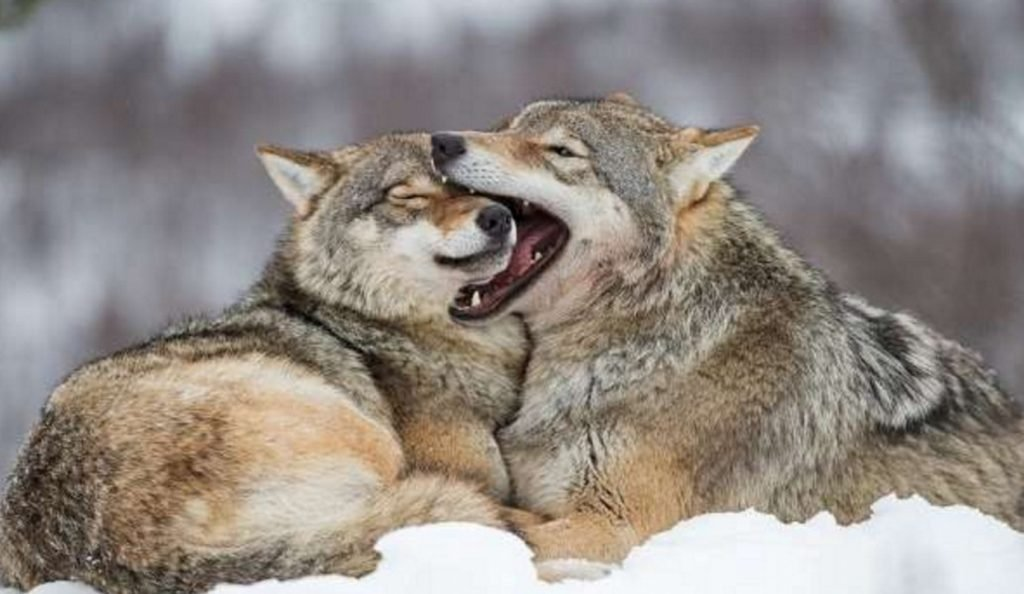 Aντιδράσεις για το «κυνήγι αναψυχής» λύκων στη Νορβηγία | Pagenews.gr