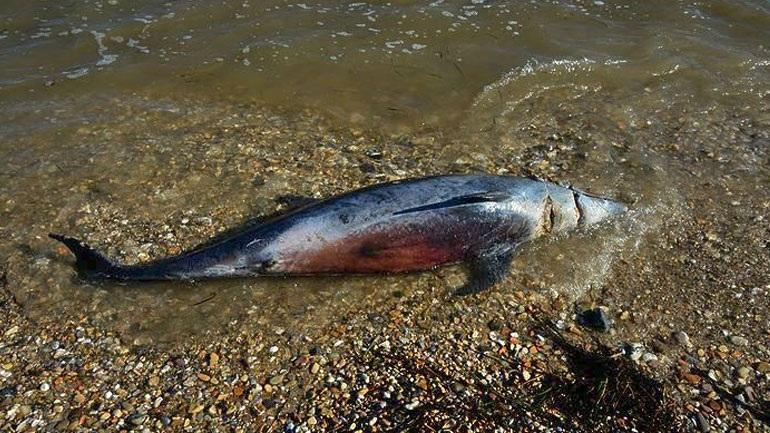 Κεφαλονιά: Νεκρό δελφίνι σε παραλία στο Ληξούρι   Pagenews.gr