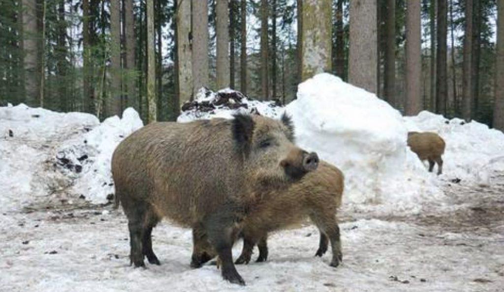 Γερμανία: Κτηνοτρόφοι ζητούν την εξόντωση του 70% των αγριόχοιρων | Pagenews.gr
