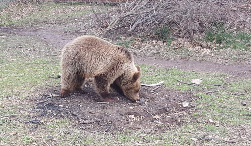 Φλώρινα: Νεκρή αρκούδα μετά από τροχαίο | Pagenews.gr