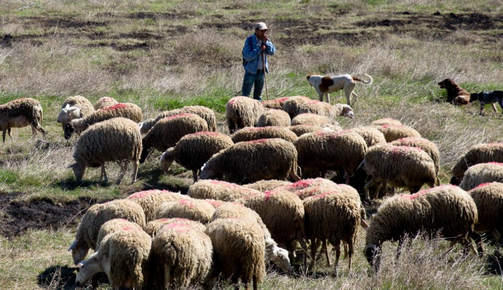 Κρήτη: Συνελήφθη 44χρονος που κατηγορείται ότι θανάτωσε με αιχμηρό αντικείμενο 100 πρόβατα | Pagenews.gr