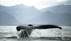 Εντυπωσιακό: Οι φάλαινες τραγουδούν jazz για να προσελκύσουν το ταίρι τους   Pagenews.gr