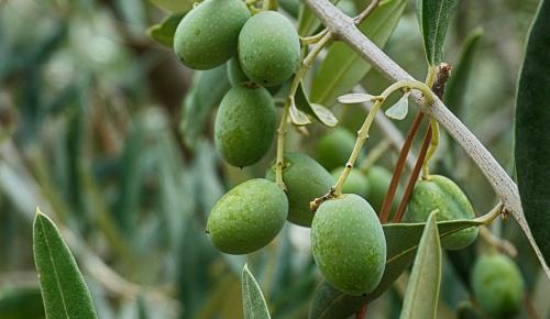 Σνακ…γλυκιάς ελιάς ταξιδεύει σε Αμερική και της Ιαπωνία | Pagenews.gr