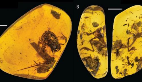 Επιστημονική ανακάλυψη: Βρέθηκαν βάτραχοι μέσα σε κεχριμπάρι | Pagenews.gr