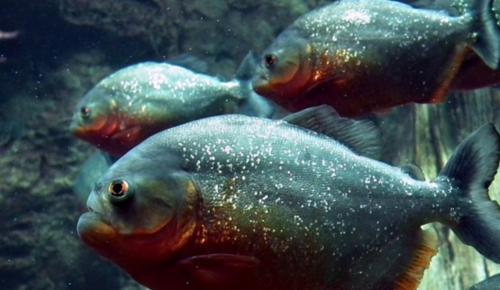 Σαρκοβόρο ψάρι απολίθωμα: Ανακαλύφθηκε το πρώτο σαρκοβόρο ψάρι με σκελετό από κόκαλα   Pagenews.gr