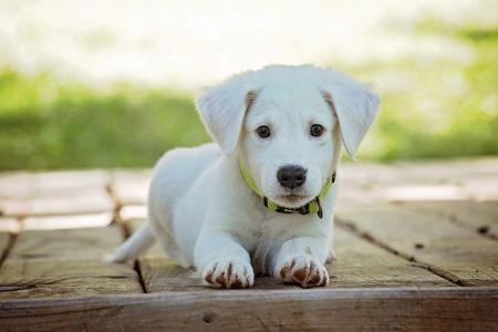 Ακριβότερες Ράτσες Σκύλων: Ποιες είναι και πόσο κοστίζουν | Pagenews.gr
