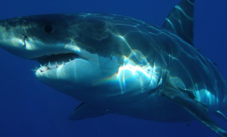 Λευκός καρχαρίας: Το γονιδίωμά του κρύβει μυστικά για την καταπολέμηση του καρκίνου | Pagenews.gr