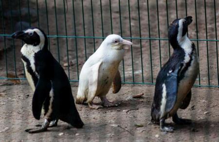 Αλμπίνος πιγκουίνος κλέβει τις εντυπώσεις στον ζωολογικό κήπο της Πολωνίας | Pagenews.gr